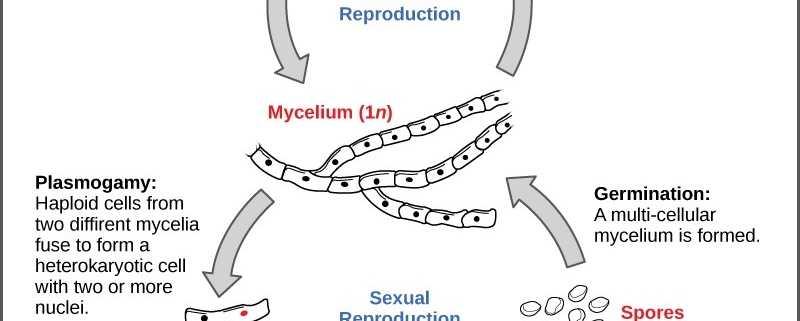 Drawing of Fungi Life Cycle