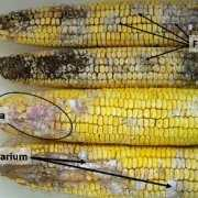 Four ears of moldy corn with three kinds of mold