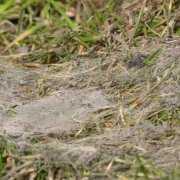 Snow mold on grass