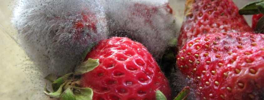 Moldy strawberries on a flat surface