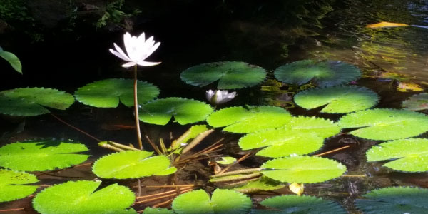 Lilypad with flower in nature