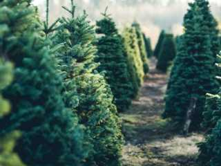 Undecorated Christmas trees for sale